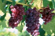 виноград, лоза, struguri