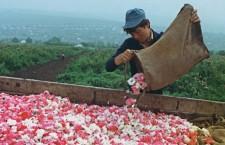 сбор роз в молдавии