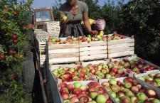 молдавские яблоки 715x480