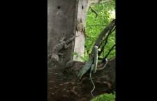 змея геккон